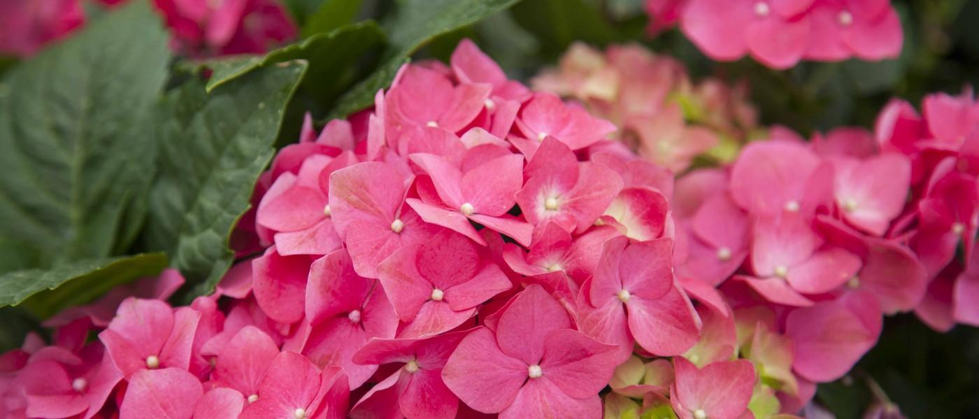 Die 2 besten Tipps für schöne Hortensien